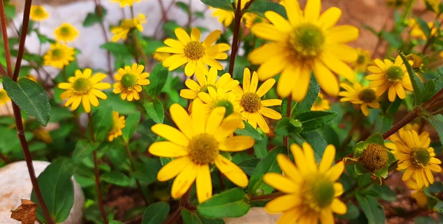 Fiori gialli margherite